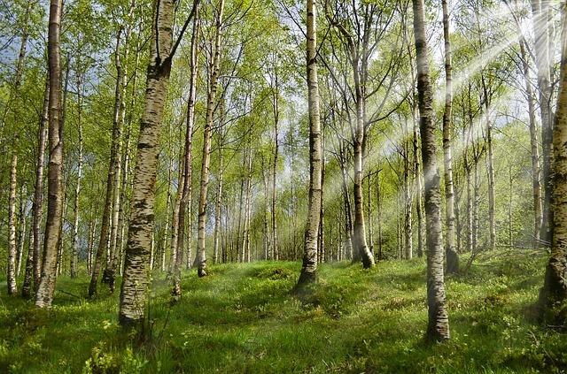 stromy břízy